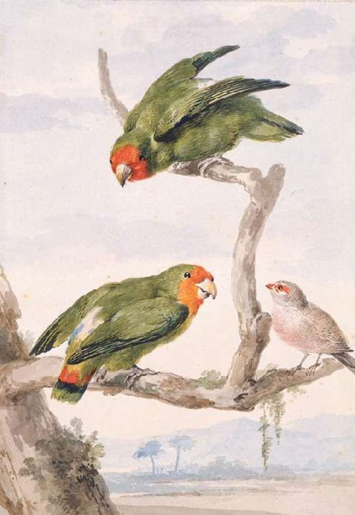 Schouman-Aert-Two-red-faced-lovebirds-and-a-waxbill
